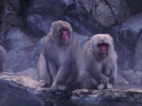 Japanese Macaca dikenal juga dengan Snow Monkey